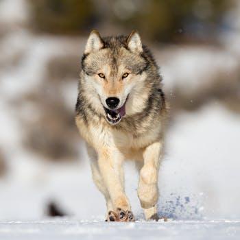 Wolf Instincts