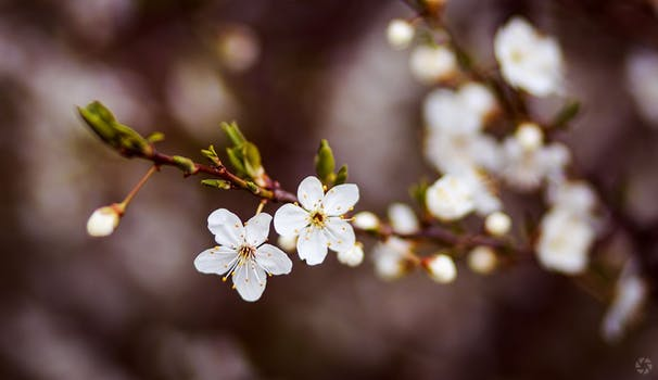 Cherry Blossom Love Potion