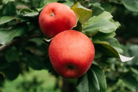 Apple of Benus